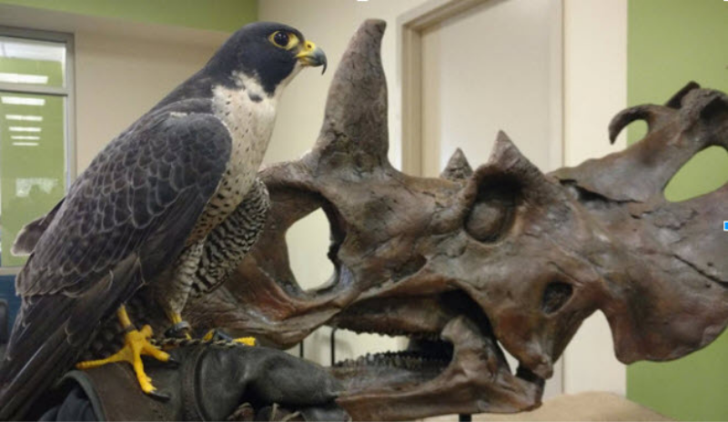 An eagle stands on a gloved hand. Dinosaur fossil in the background.