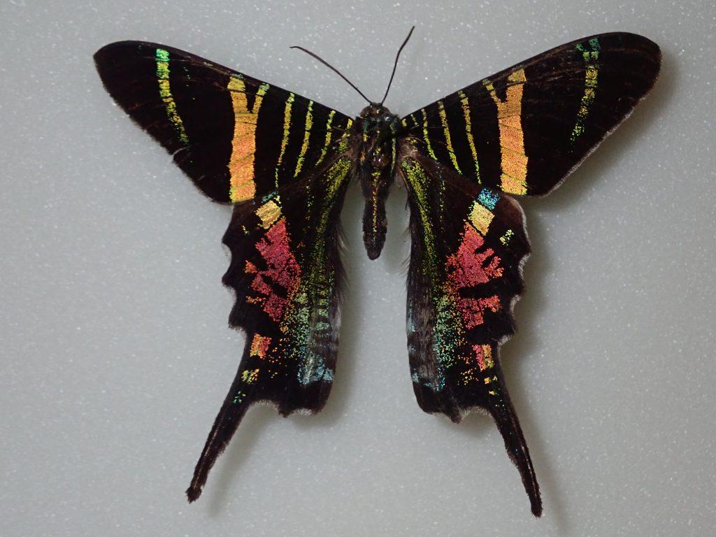 Urania sloanus - moth