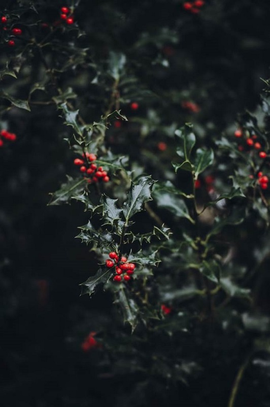 Photo of red holly berries on dark background.
